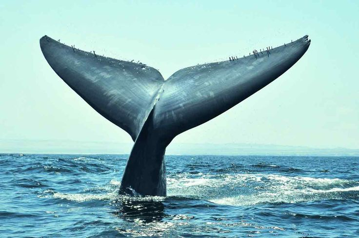 Discover Chile's hidden secrets on this guided whale watching tour to Pingüino de Humboldt National Reserve. See whales, dolphins and other marine wildlife.