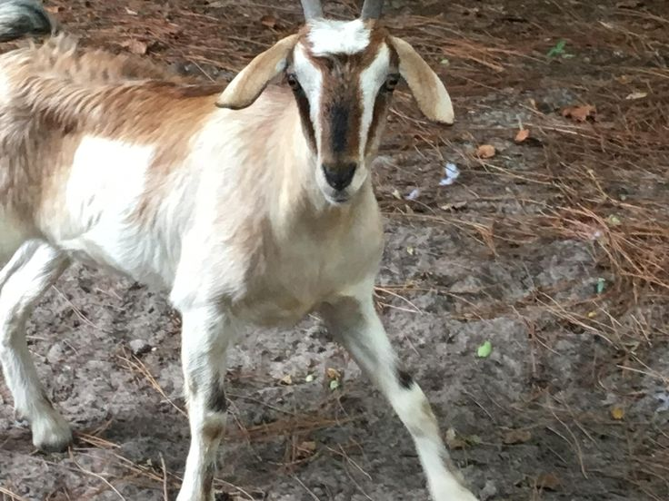 """FORT WALTON BEACH — The goat caught running down the road on Miracle Strip Parkway was headed for a religious sacrifice. Because the owner didn't want to pay a $95 impoundment fee to the animal shelter, the goat will now go to a farm """"where she can live out her happy, little goat life."""" (September 2016)"""