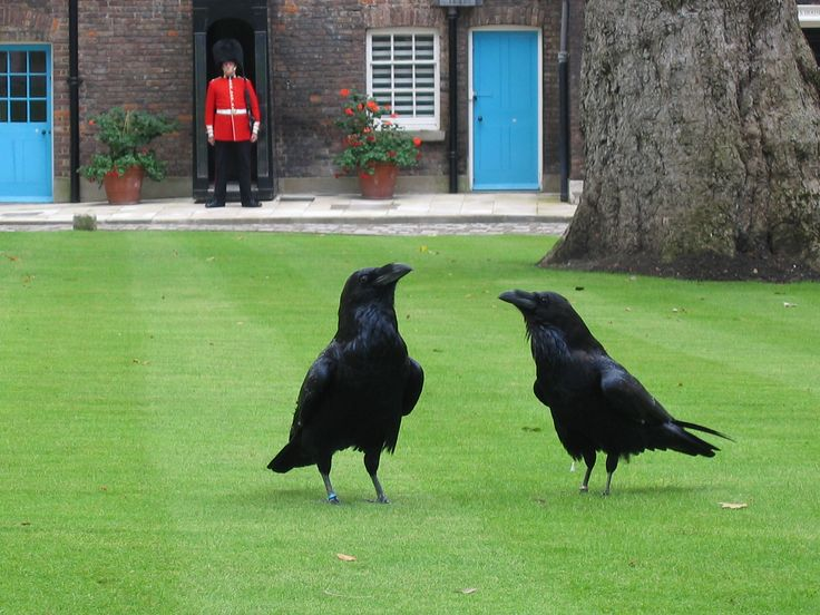 "A group of captive Common Ravens live in the Tower. of London.The group comprises at least seven individuals (six required, with a seventh in reserve). The presence of the ravens is traditionally believed to protect the Crown and the Tower; a superstition holds that ""If the Tower of London ravens are lost or fly away, the Crown will fall and Britain with it."""