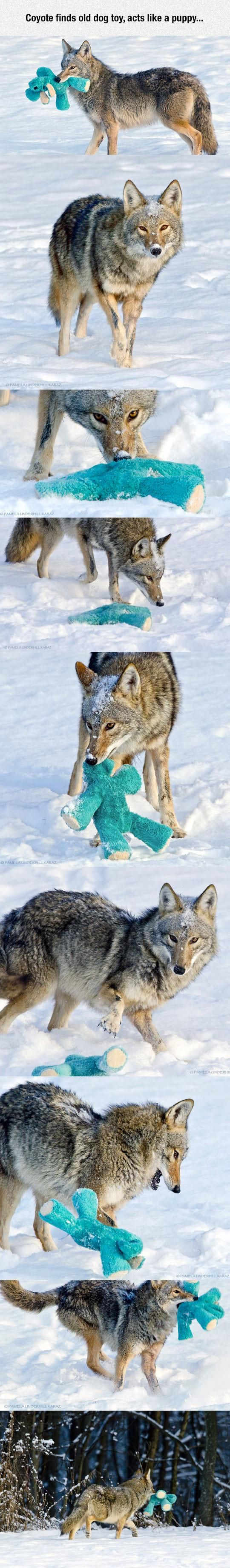 Coyote finds dog toy, becomes puppers again
