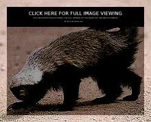 Honey Badger is mostly found in Africa and West and South Asia and is also commonly known as ratel. Honey badger's scientific name is Mellivora capensis