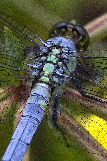 Eastern Pondhawk Dragonfly Close-up by Dah Professor