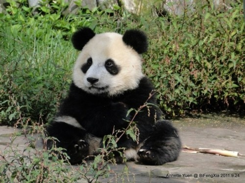 A giant panda cub at the Bifengxia Panda Reserve on September 24, 2011.  © Annette Yuen/Giant Panda Zoo.