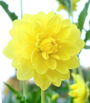 The 8 best my flower pictures images on pinterest flower dahlia fern irene ferngarden designyellow flowersdahliasflowers gardengardeningbouquetsideasbeautiful mightylinksfo