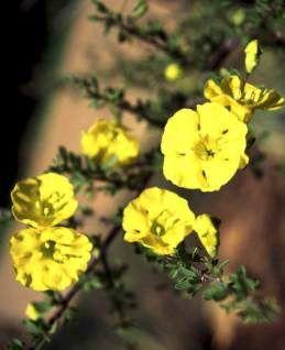 Rhigozum Obovatum     Karoo Gold/Yellow Pomegranate        Geelberggranaat      S A no 675         Plantz Africa