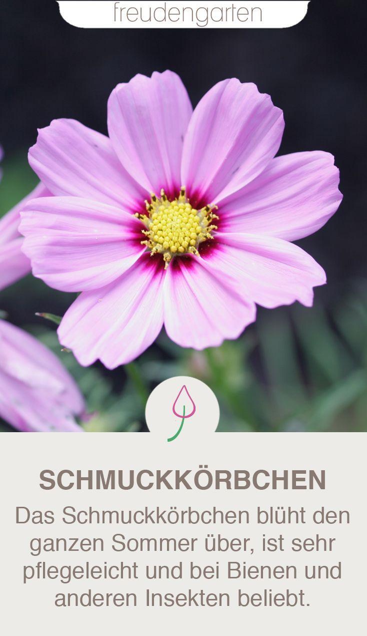 Cosmea Im Garten Schmuckkorbchen Richtig Pflanzen Und Pflegen Schmuckkorbchen Pflanzen Cosmea