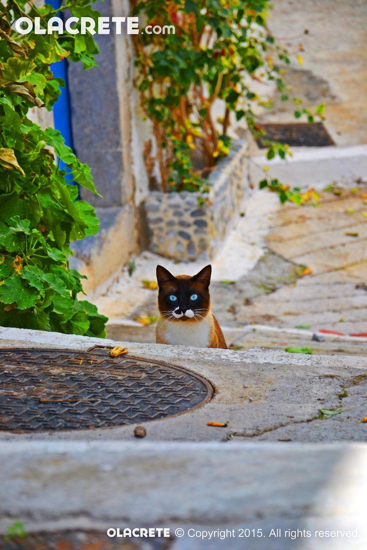 Blue Eye cat - Kritsa