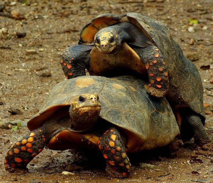 Morrocoy sabanero o simplemente morrocoy es el nombre que le damos regularmente a esta tortuga terrestre muy conocida en nuestro país.  Tan conocida que es común encontrarlos como mascota en muchas familias venezolanas.  Pero sabías que está especie está en peligro de extinción según la UICN? Probablemente no verdad?. La mayoría de los morrocoyes que se comercializan como mascota son extraídos de manera ilegal de los bosques secos y sabanas en los que habitan. Lo que representa un impacto…