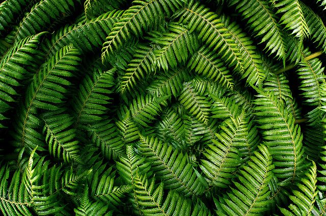 Tree FernsPieter Pieterse, Dinosaurs Roam, Ferns Frond, Rain Forests, Ferns Gardens, Zealand Trees, New Zealand, Trees Ferns, Nature Lace