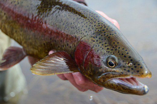 Learn how to catch trout in lakes.  Trout fishing is simply an outdoor activity everyone can enjoy. Millions of anglers pursue wild trout and hatchery raised trout is often a kids first fish.