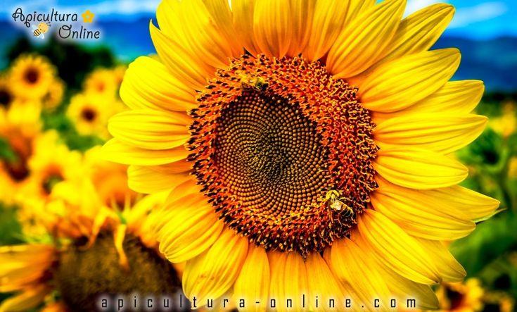 albine floarea soarelui