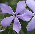 Phlox divaricata 'Clouds of Perfume': Masses of small, ice-blue, fragrant flowers appear in June and July above the hairy, bright green leaves of this spreading, semi-evergreen phlox. Phlox flowers range from white, through mauve to vivid pink.