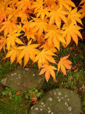 Podzimní zabarvení listů aceru