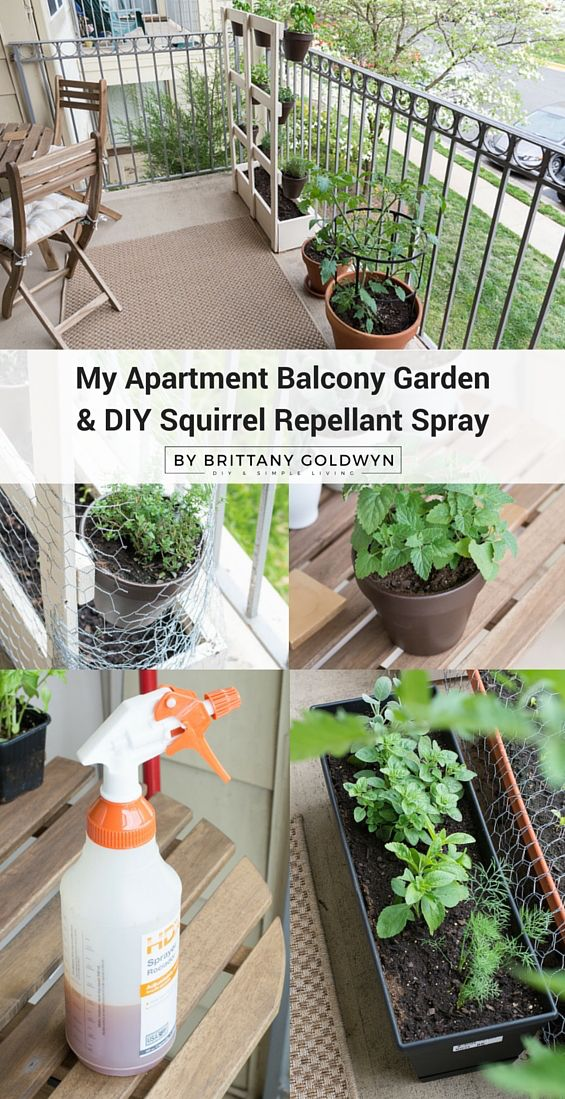 Check out my apartment balcony garden and learn how to make a super easy squirrel repellant spray to keep your adorable tree rats from digging into your soil.