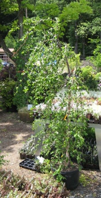 1000 ideas about weeping trees on pinterest dwarf lilac for Specimen trees zone 5