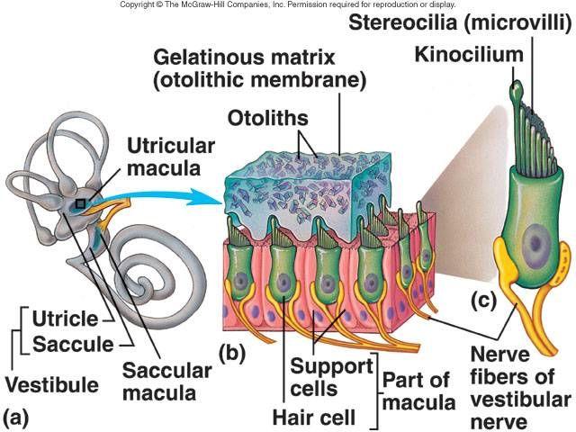 Macula ear diagram wiring diagram 7 best inner ear images on pinterest inner ear human anatomy and rh pinterest com optic disc diagram eye anatomy diagram ccuart Gallery