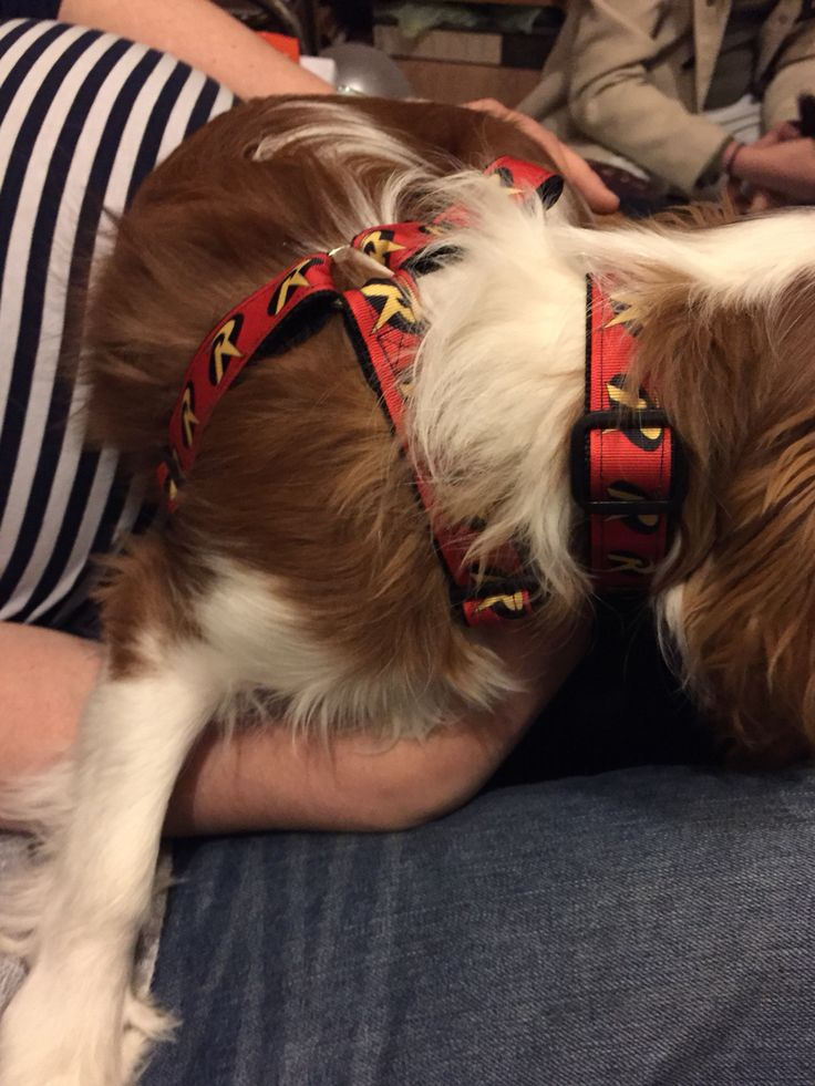 Robin models his fantastic harness collar and lead set, ribbon sewn onto strong webbing available in a variety of designs and sizes.