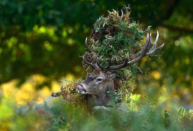 A male red deer with antlers covered in bracken, walks through undergrowth in Richmond Park in south west London, in this October 3, 2014. Photo and caption by Toby Melville/Reuters.