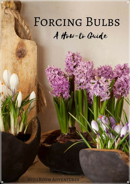 Bulbs that you force into bloom starting at this time of the year keep summer around a little longer and excite our souls with the promise of the upcoming spring.  Forcing bulbs indoors in the winter months is very simple and always worth the tiny amount of prep time they require.  Click through to find out how!