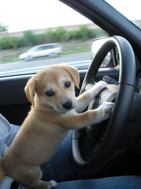 13 Best Cute Puppy Pics With Car Images On Pinterest Puppy Pics