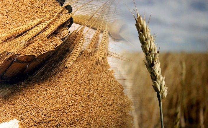 El trigo y la intolerancia al gluten (proteína difícil de digerir)