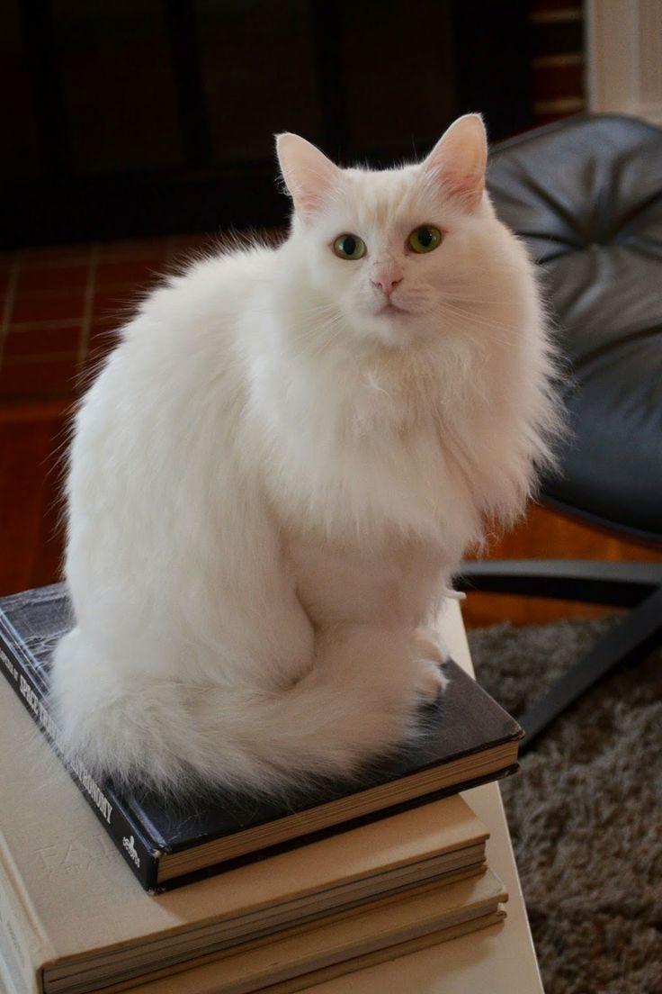 Best 25 Angora cats ideas on Pinterest