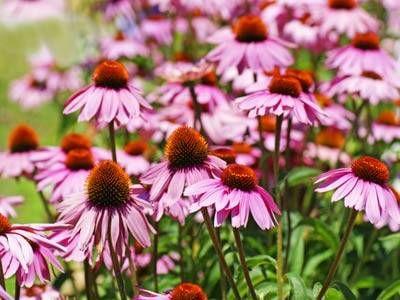 L'Echinacea è una pianta che amo particolarmente… la prima volta che l'ho usata…