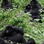 Amazing Gorilla tracking Rwanda safari tours by Prime Uganda safaris & Tours – a local tour operator based in Uganda & Rwanda. We have arranged Gorilla Safaris in Uganda and Rwanda for the last 8 years and still creating new exciting safaris and tours taking tourists Mountain Gorilla seeing, Africa wildlife viewing, African cultural trips, Birding and Africa adventure vacation holidays nature.