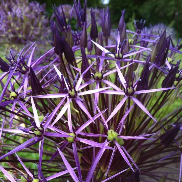 RHS Wisley < Allium christophii