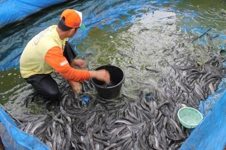 Panduan Budidaya Ikan Lele Lengkap - http://untungwibowo.com/peluang-usaha/budidaya-ikan-lele/