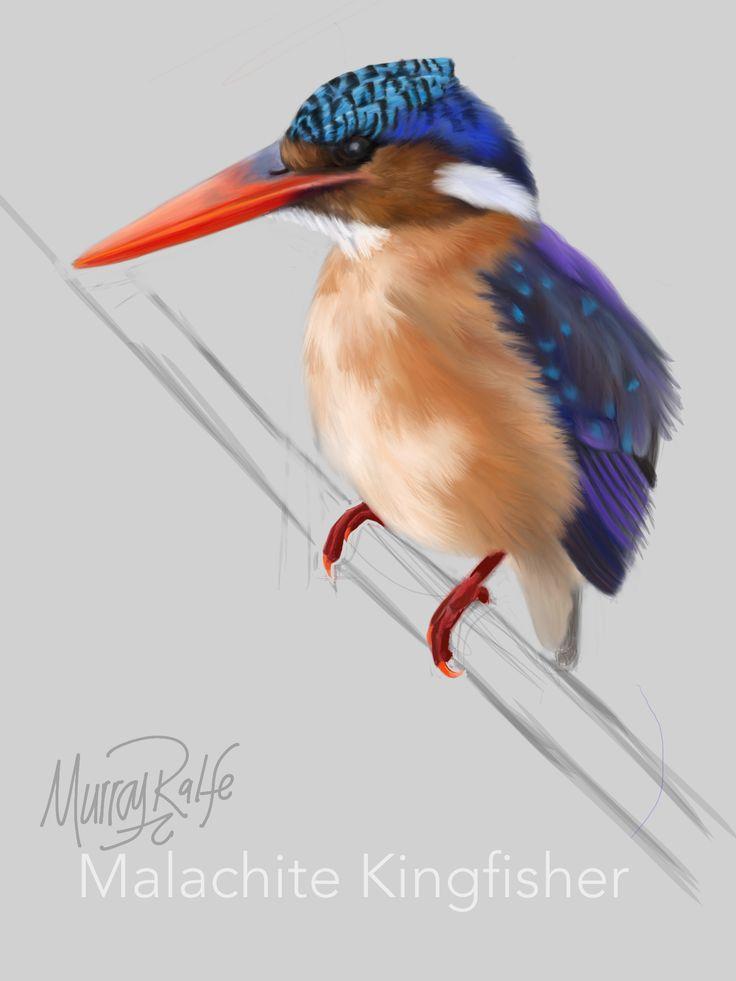Malachite Kingfisher  By Murray Ralfe  www.murrayralfe.com