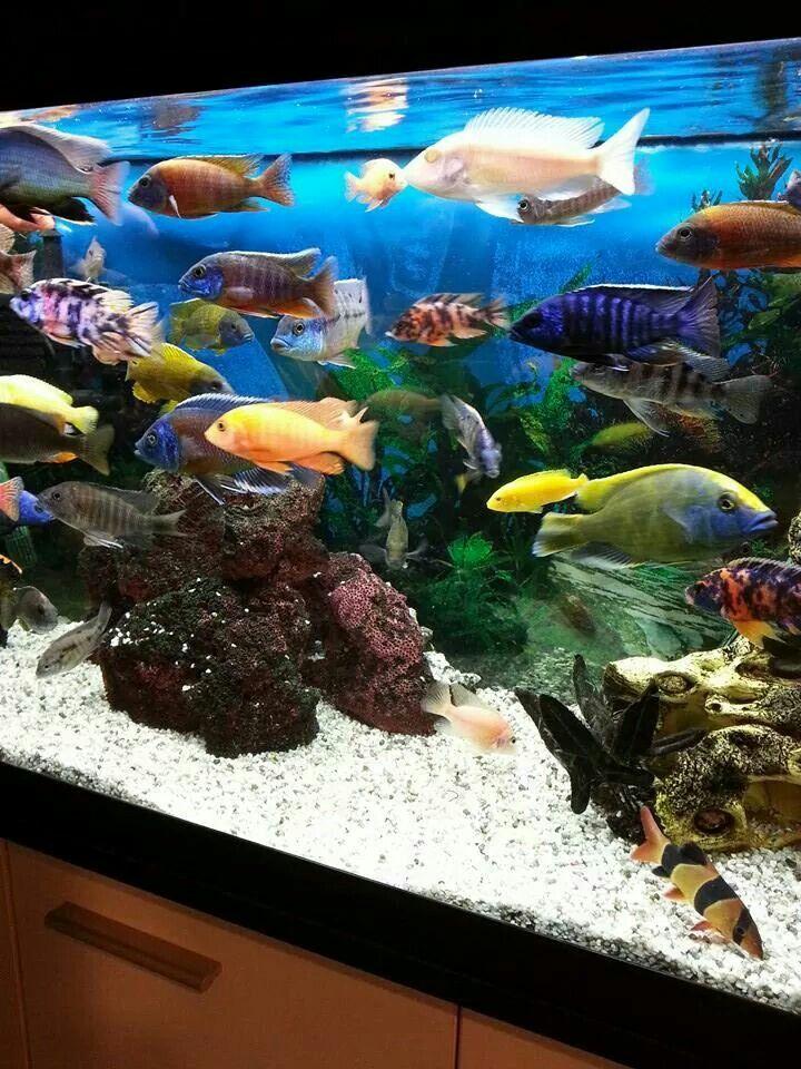 Best 25 cichlid aquarium ideas on pinterest cichlids for African cichlid tank decoration