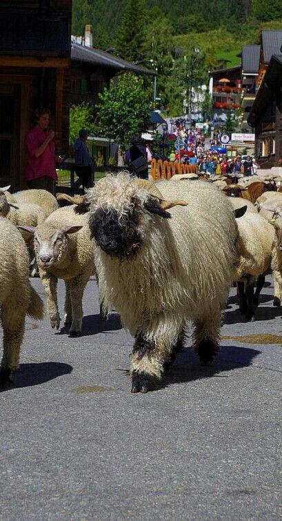 Blickfang: Mehr als 800 Schafe ziehen durch Leukerbad.   © Sybille Boolakee