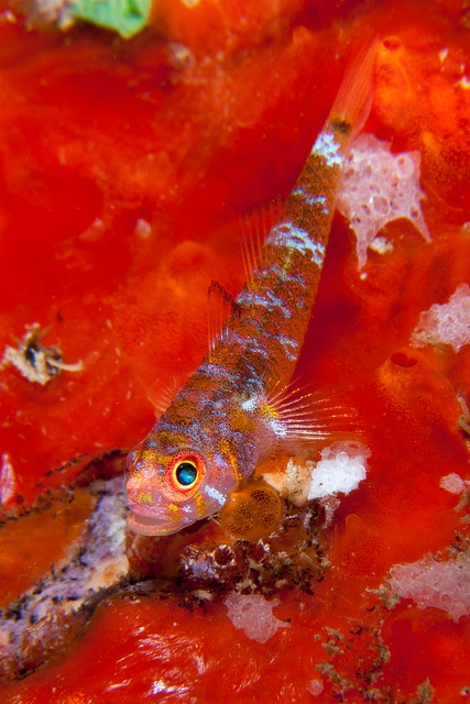 Goby by Benthichi, via Flickr