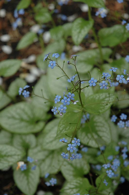 Jack Frost Bugloss (Brunnera macrophylla 'Jack Frost') at Stein Gardens & Gifts