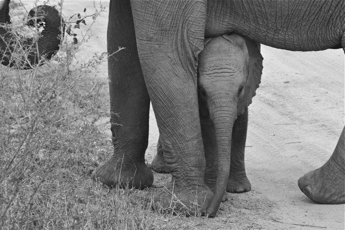 #Elephants #Safari #SouthAfrica