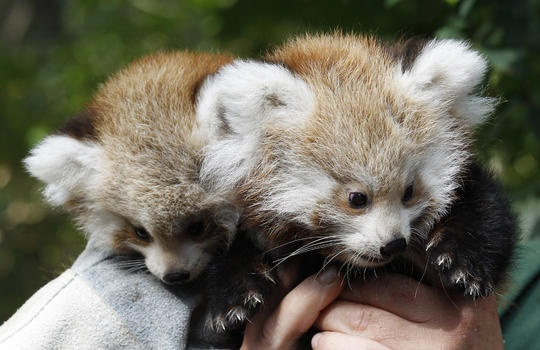 red panda twins from Berlin Zoo