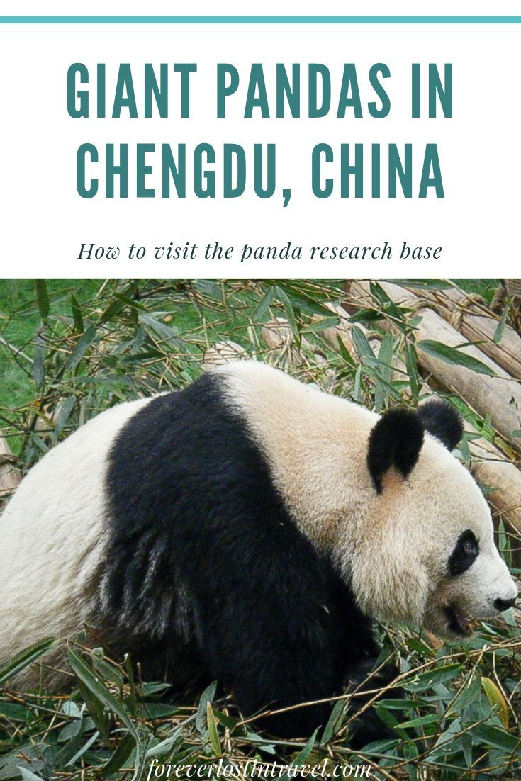 If You Love Giant Pandas This Is The Place For You Tips On Where To Stay In Chengdu How To Get To The Panda Base And All The C Panda Giant