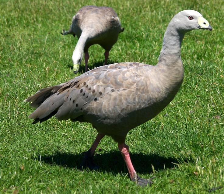 Geese @ Trowunna Wildlife Park, Mole Creek, Tasmania