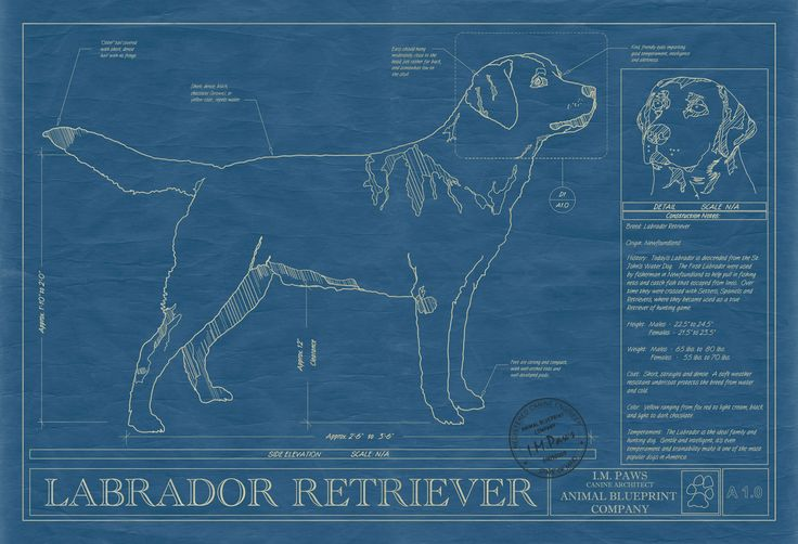 Labrador Retriever Print: Labrador Blueprint, Dogs Blueprints, Labrador Retriever Dogs, Retriever Pictures, Animal Blueprint, Dog Pictures, Dogs Pictures, Blue Prints, Pet Blueprint