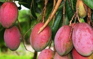 mangoboom groeit ook rond de mediterraanse zee