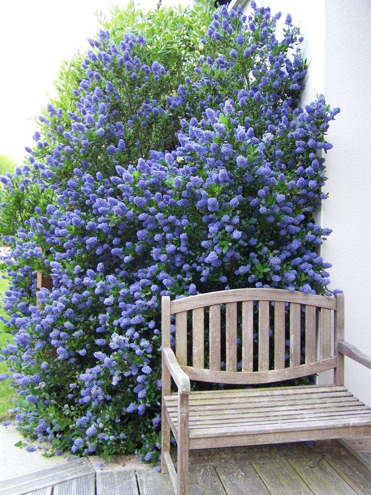 Une Ceanothe très florifère (petites inflorescences d'un bleu soutenu ) en mai juin et quelques remontées durant l'été et l'automne. hauteur 1.50 à 2.00m taille juste après la floraison de printemps .Évitez de tailler cet arbuste en hiver ,sa résistance...