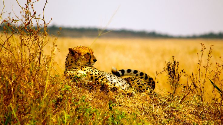 Cheetah in the #serengeti plains
