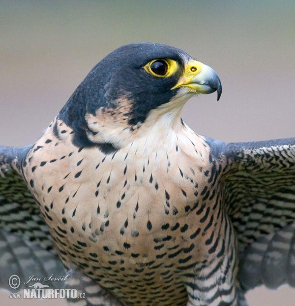 100 mejores imágenes de ANIMAL: AVES 1 en Pinterest | Pájaros ...