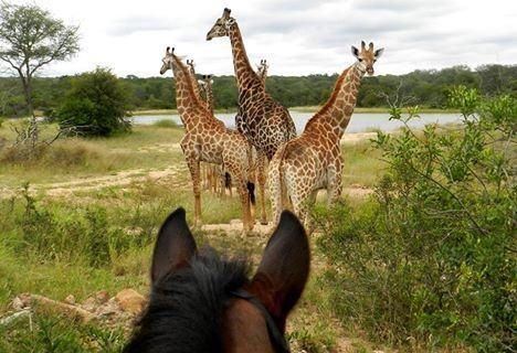 How many giraffe can you fit between the ears of a horse