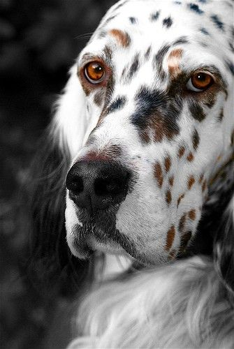 Beautiful English Setter: I thought this was a painting of a dog. I didn't realize it was real until I looked closer.