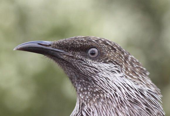 Little Wattlebird | BirdLife Australia