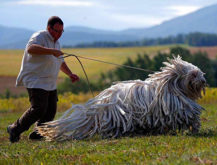 Komondor é uma raça de cão pastor originária da Hungria, cuja aparência e rústica, com pelagem comprida, macia e densa, formando fios emaranhados. Seu corpo é robusto e musculoso, mas seu tamanho não reduz sua agilidade. Pode chegar a medir 80 cm e pesar 60 kg.  HMMM.com.br