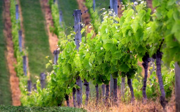 Best Vineyard Wallpaper Background Wallpaper