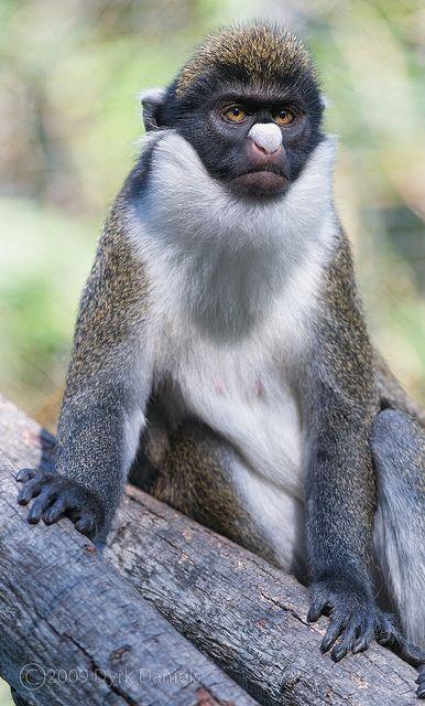 Cercopithecus petaurista El cercopiteco menor es una especie de cercopiteco propia de las selvas africanas existentes entre Liberia y Benin, si bien se cree que pueden existir poblaciones en Senegal o Gambia